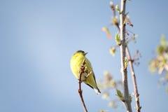 Verde y pájaro del oro Imagenes de archivo