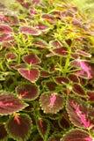 Verde y púrpura colorea las plantas ornamentales en el jardín con la pared del cemento Fotografía de archivo