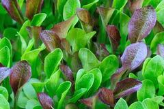 Verde y plantas de semillero de la lechuga de Borgoña, creciendo Imagen de archivo