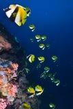 Verdeckte bannerfish stockfotografie