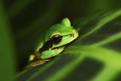Verdecktes Smilisca, Smilisca-phaeota, exotischer tropischer grüner Frosch von Costa Rica, Nahaufnahmeporträt Lizenzfreie Stockfotos