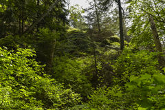 Verdent Forest. Scenery in a lush verdent rain forest in Vancouver, Canada Royalty Free Stock Image