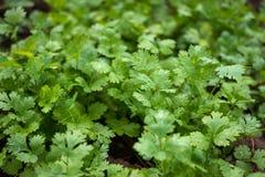 Verdes, coentro Imagem de Stock