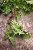 Verdes comestibles de los dientes de león del forraje (officinale del Taraxacum) Fotografía de archivo libre de regalías