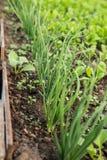 Verdes crescentes para a salada A alface, a mostarda, a r?cula e as folhas fresca, nova e macia da cebola crescem no jardim imagens de stock royalty free