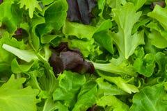 Verdes de la ensalada mezclada Fotos de archivo libres de regalías
