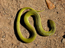 Verdes de la serpiente Fotos de archivo libres de regalías