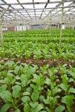 Verdes de mostaza en la granja vegetal Foto de archivo