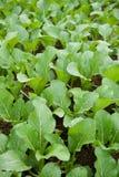 Verdes de mostaza en la granja vegetal Fotos de archivo libres de regalías