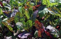 Verdes de remolacha en el jardín Fotos de archivo