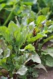Verdes de remolocha del jardín rural Imagen de archivo