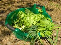 Verdes em uma bacia plástica Imagem de Stock