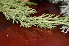 Verdes festivos del enebro Fotos de archivo libres de regalías