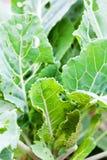 Verdes frondosos orgánicos foto de archivo libre de regalías