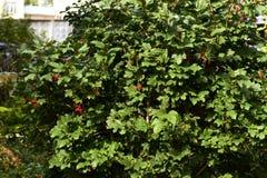 Verdes jugosos brillantes Pequeñas bayas rojas Viburnum del árbol Imágenes de archivo libres de regalías
