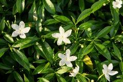 Verdes jugosos brillantes Pequeñas flores blancas Fotos de archivo