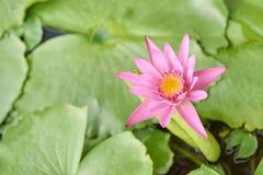 Verdes jugosos brillantes Poca flor rosada Fotografía de archivo libre de regalías