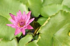 Verdes jugosos brillantes Poca flor rosada Fotografía de archivo