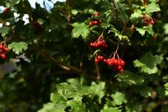 Verdes jugosos brillantes Viburnum del árbol Pequeñas bayas rojas Fotografía de archivo libre de regalías