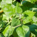 Verdes nativos australianos de Warrigal de la planta comestible Fotos de archivo
