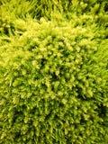 Verdes para sempre Imagem de Stock