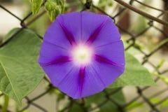 Verdes roxos da mola do verão da planta da natureza da flor Imagens de Stock Royalty Free