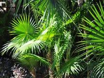 Verdes tropicais Fotografia de Stock