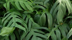Verdes tropicales ex?ticos jugosos brillantes en el clima ecuatorial del bosque de la selva Fondo con follaje inusual de la plant almacen de metraje de vídeo