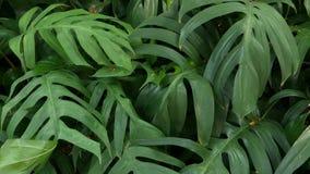 Verdes tropicales ex?ticos jugosos brillantes en el clima ecuatorial del bosque de la selva Fondo con follaje inusual de la plant metrajes