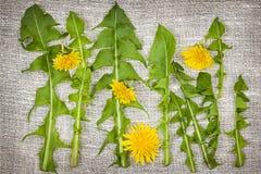 Verdes y flores de diente de león Foto de archivo libre de regalías