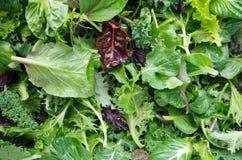 Verdi del giacimento dell'insalata mista Fotografie Stock Libere da Diritti
