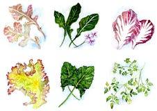 Verdi dell'insalata Fotografie Stock