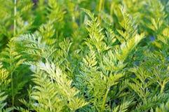 Verdi della carota che crescono nel giardino Immagine Stock