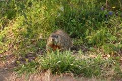 Verdi di cibo della marmotta nordamericana nello schiarimento del terreno boscoso Fotografia Stock