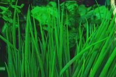 Verdi freschi, aneto, vista superiore del primo piano dei condimenti sul contatore del mercato di verdure Immagine Stock Libera da Diritti