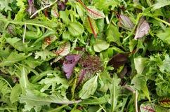 Verdi freschi del giacimento dell'insalata mista Fotografia Stock