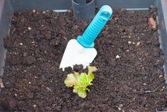 Verdi organici dell'insalata di impregnazione Fotografia Stock