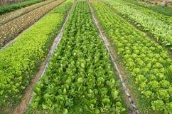 Verdi pronti per il raccolto Fotografie Stock