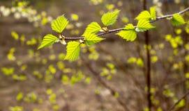Verdi teneri della molla Fotografia Stock Libera da Diritti