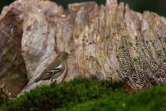 Verdier européen dans l'habitat de région boisée image stock