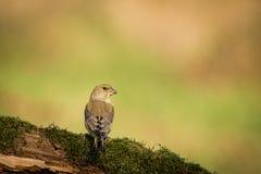 Verdier européen se reposant dans la branche, oiseau dans l'oiseau de branche, vert et jaune, l'Europe, République Tchèque, Morav photos stock