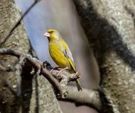Verdiers masculins dans le plumage d'élevage Photos libres de droits