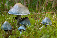 Verdigris agaric Royalty Free Stock Photos