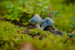 Verdigris agaric in the forest Royalty Free Stock Image