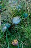Verdigris agaric. (Stropharia aeruginosa) in the forest Stock Images