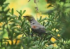Verdin鸟在亚利桑那 免版税库存图片