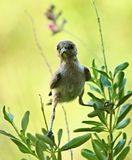 Verdin鸟在亚利桑那 免版税库存照片