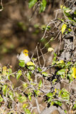 Verdin, Auriparus flaviceps Royalty Free Stock Images