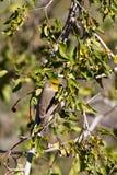 Verdin, Auriparus flaviceps Stock Images