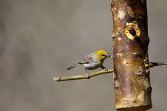 Verdin, Auriparus flaviceps Royalty Free Stock Photos